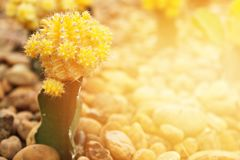 Small cactus blooming flower in cactus garden Stock Image