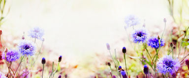 Nature background with cornflowers in garden or park Stock Image