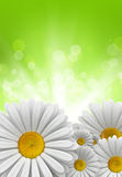 Nature background - daisies Royalty Free Stock Photos