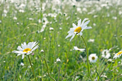 Nature background of daisies field Royalty Free Stock Photography