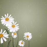Nature Background with Daisies Royalty Free Stock Image