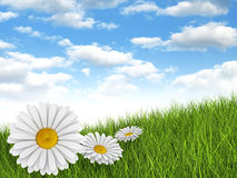 Nature background - daisies in the meadow royalty free stock photography