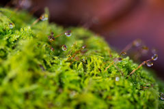 Nature background with dew drops on a moss, small depth of field Stock Images