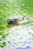 Nature background of Duck swimming in pond waters. With fresh green summer leaves reflection Royalty Free Stock Photography
