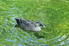 Nature background of Duck swimming in pond waters. With fresh green summer leaves reflection Royalty Free Stock Photo