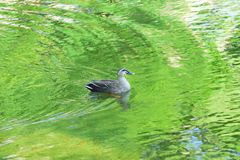 Nature background of Duck swimming in pond waters. With fresh green summer leaves reflection Royalty Free Stock Image
