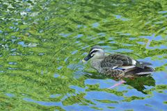 Nature background of Duck swimming in pond waters. With fresh green summer leaves reflection Stock Photos
