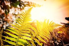 Nature background with fern leaves at sunset Stock Images