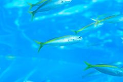 Fish swimming in deep blue sea waters. Nature background Fish swimming in deep blue sea waters royalty free stock images