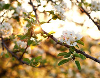 Nature background, flowering garden trees in sunset light. Nature background, flowering garden trees in soft sunset light stock image