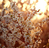 Nature background, flowering garden trees in sunset light. Nature background, flowering garden trees in soft sunset light stock image