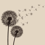 Nature background with flowers dandelions Royalty Free Stock Photo