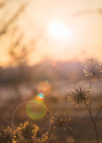Nature background flowers in on orange sunset. Evening autumn nature background, beautiful meadow dandelion flowers in field on orange sunset. vintage filter Stock Photo