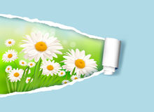 Nature background with fresh daisy Royalty Free Stock Image