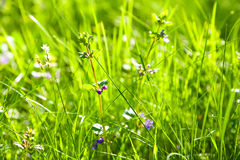 Green grass. Meadow. Stock Photography