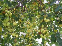 Bumper crop of Crabapples starting to ripen royalty free stock photography