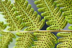 Green fern leaf with dot of spore plant in tropical forest. Nature background of Green fern leaf with dot of spore plant in tropical forest Royalty Free Stock Images