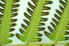 Green fern leaf with dot of spore plant in tropical forest. Nature background of Green fern leaf with dot of spore plant in tropical forest Royalty Free Stock Photo