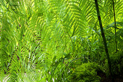 Nature background - green fern texture Royalty Free Stock Images