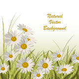 Nature background with green grass and daisies. Beautiful natural background with green grass and white daisies Royalty Free Stock Image