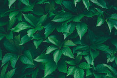 Nature background with green leaves Royalty Free Stock Photo