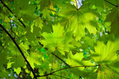 Nature background - green leaves. Green trees royalty free stock photos