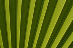 Nature background, green palm leaf texture.  Royalty Free Stock Photo