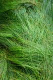 Nature background of green sedge grasses in pattern and texture royalty free stock image
