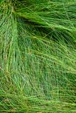 Nature background of green sedge grasses in pattern and texture royalty free stock photo