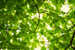 Nature Background. With Green Tree Leaves Royalty Free Stock Photography