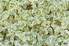 Nature background of green and white leaves. Stock Image