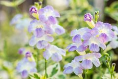 Nature background, herbs plants, Creeping foxglove. Royalty Free Stock Photography