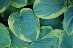 Nature background hosta funkia Royalty Free Stock Image