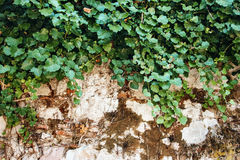 Nature Background with Ivy Leaves on Vintage Wall Stock Photo