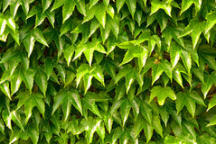Nature background, ivy leaves on wall Stock Photos