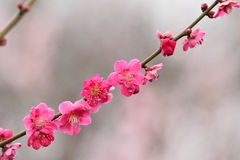 Nature Background Japanese Pink Plum blossoms branch Royalty Free Stock Photos