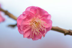 Nature Background Japanese Pink Plum blossoms branch Stock Photo