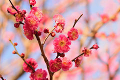 Nature Background Japanese Pink Plum blossoms branch Stock Photography
