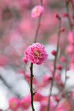 Nature Background Japanese Pink Plum blossoms branch Stock Image
