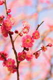 Nature Background Japanese Pink Plum blossoms branch Royalty Free Stock Image