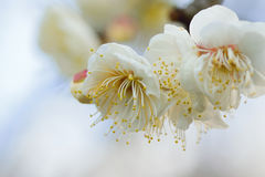 Nature Background Japanese White Plum blossoms branch Royalty Free Stock Image
