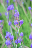 Nature Background Lavender fields Royalty Free Stock Photo