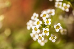 Nature background with little white flowers. Soft focus Royalty Free Stock Photos