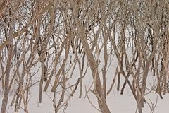 Background of curly branches of the Sumac plant in the snow stock image