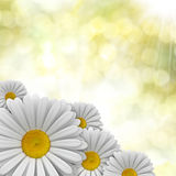 Nature background - perfect daisies Stock Photography