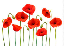 Nature background with red beauty poppies. Royalty Free Stock Images