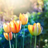 Nature background. Soft focus tulips flower. stock photography