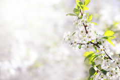 Nature background of spring floral white flowers branch blossom a apple Stock Photo