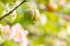 Nature background of springtime, Barbados cherry. Royalty Free Stock Image