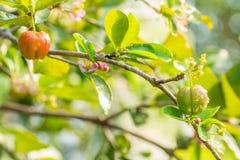 Nature background of springtime, Barbados cherry. Royalty Free Stock Photo